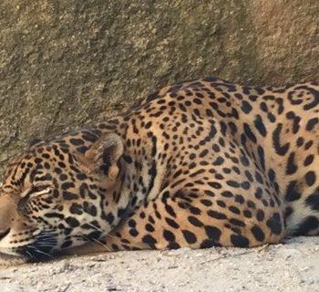 leopard puerto vallarta